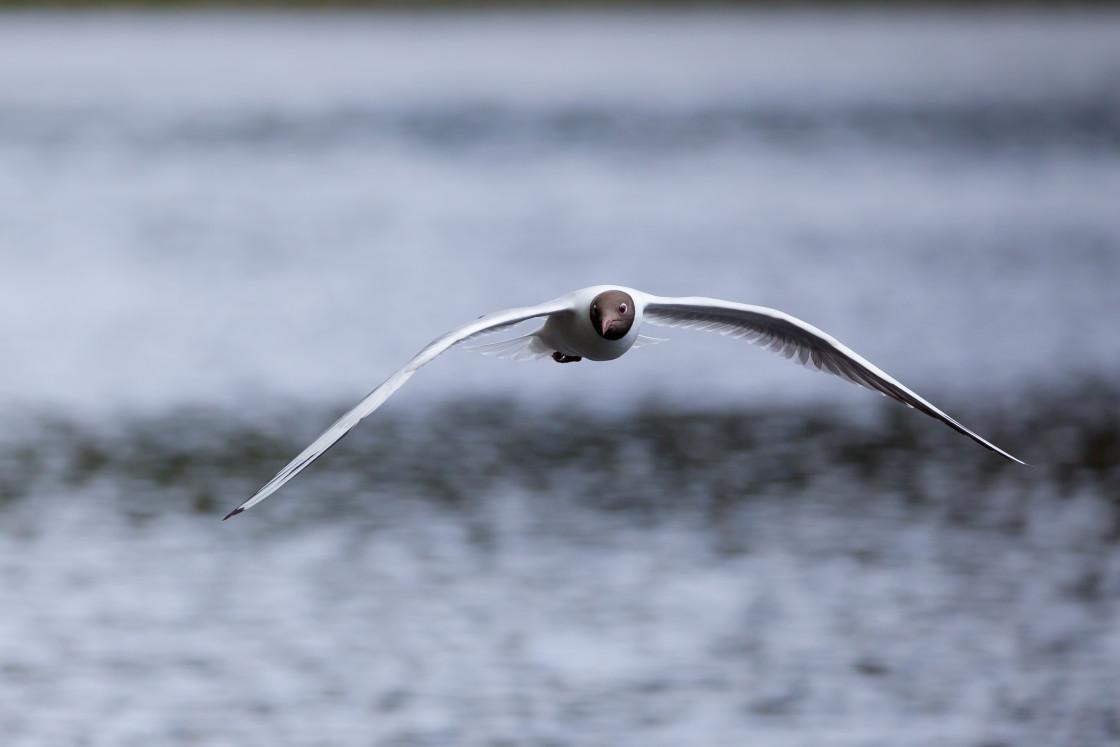 """""""Black-headed Gull"""" stock image"""