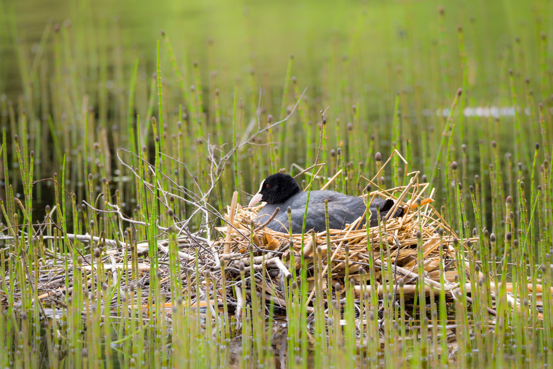 """Coot Nest Sitting"" stock image"