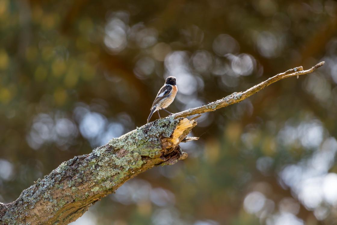 """Male Stonechat Bird"" stock image"