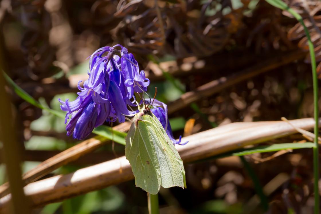 """Brimstone Butterfly on Bluebell Flower"" stock image"