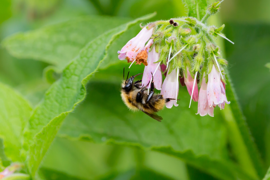 """""""Carder Bee on Comfrey"""" stock image"""