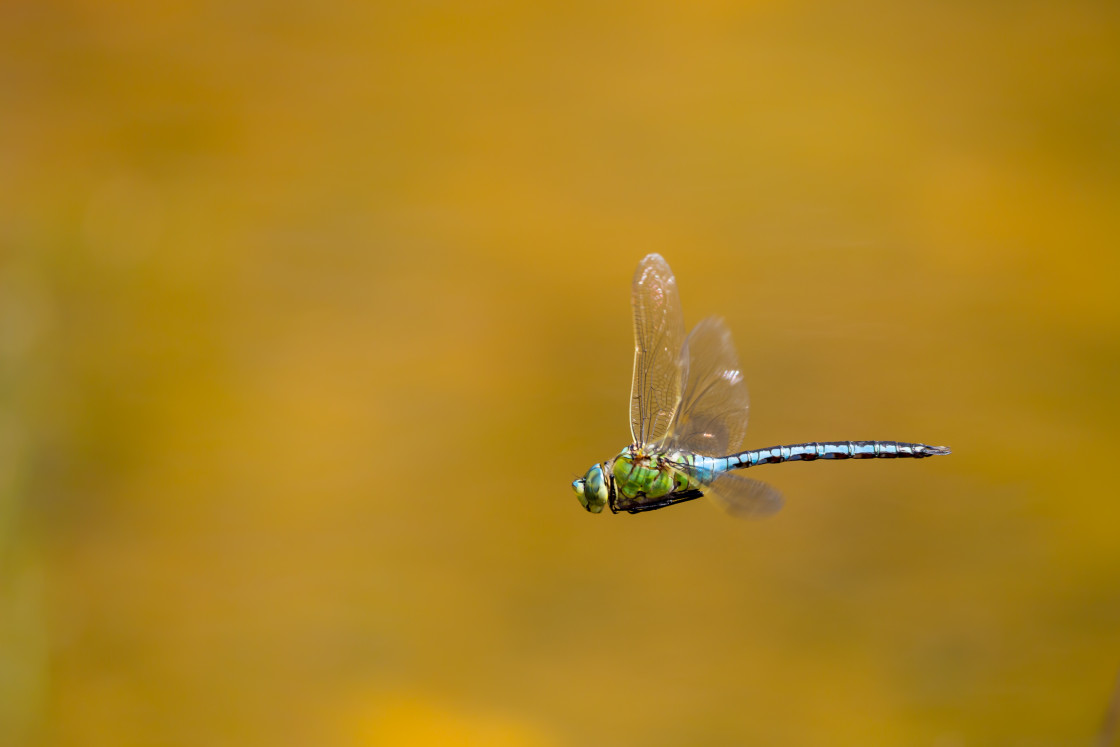 """""""Male Emperor Dragonfly"""" stock image"""