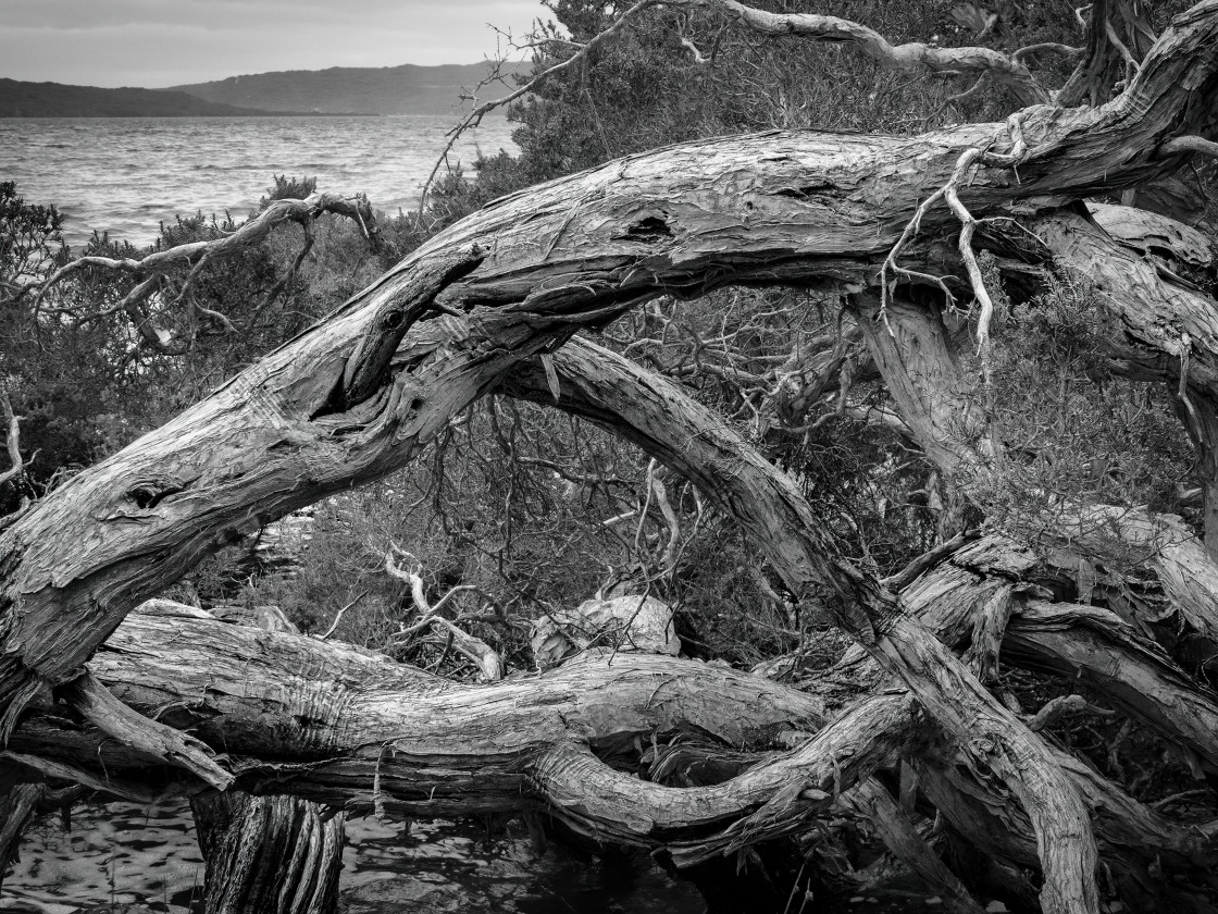"""""""Gnarled Tree at the Cove"""" stock image"""