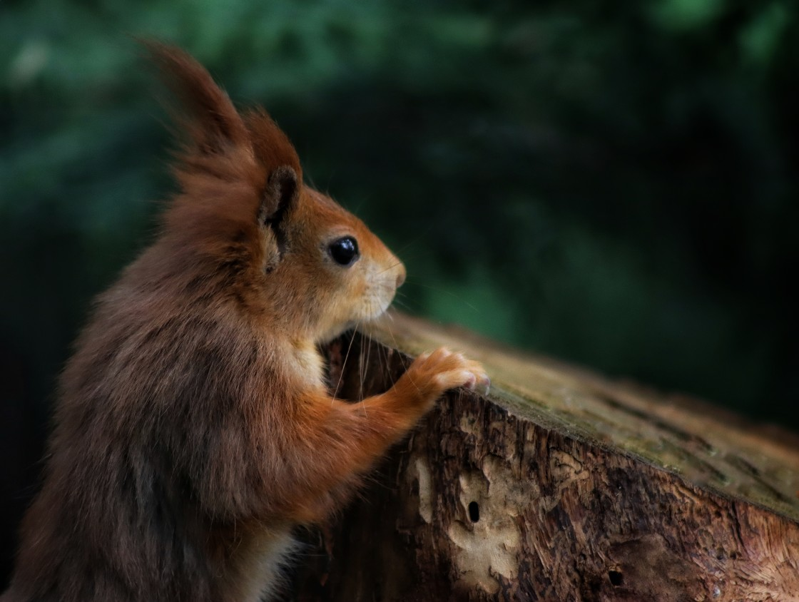 """""""Red Squirrel Lookout Post"""" stock image"""