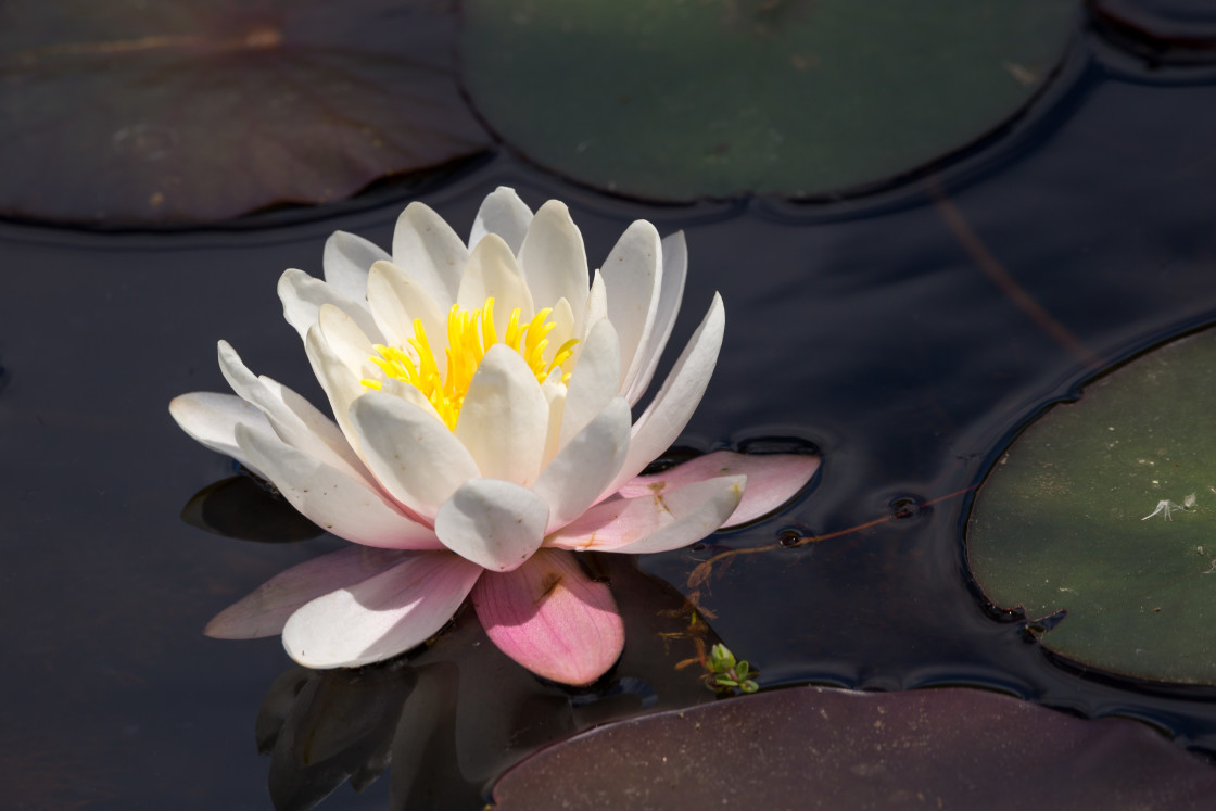 """""""Water Lily"""" stock image"""