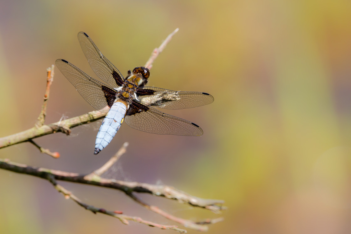"""""""Male Broad-bodied Chaser Dragonfly"""" stock image"""