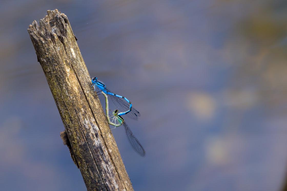 """Common Blue Damselfly Mating Wheel"" stock image"