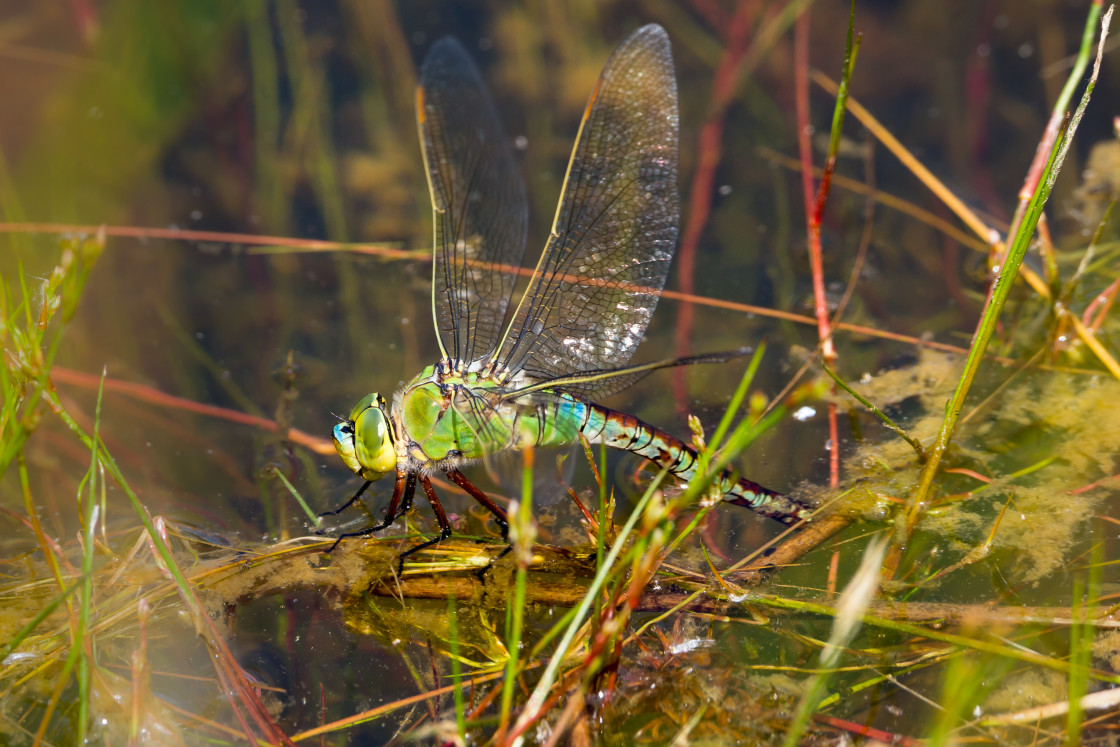 """""""Emperor Dragonfly Laying Eggs"""" stock image"""