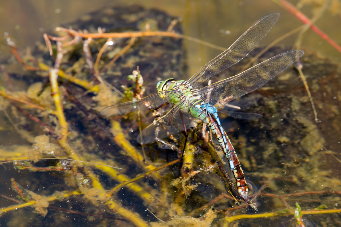 """""""Egg Laying Emperor Dragonfly"""" stock image"""