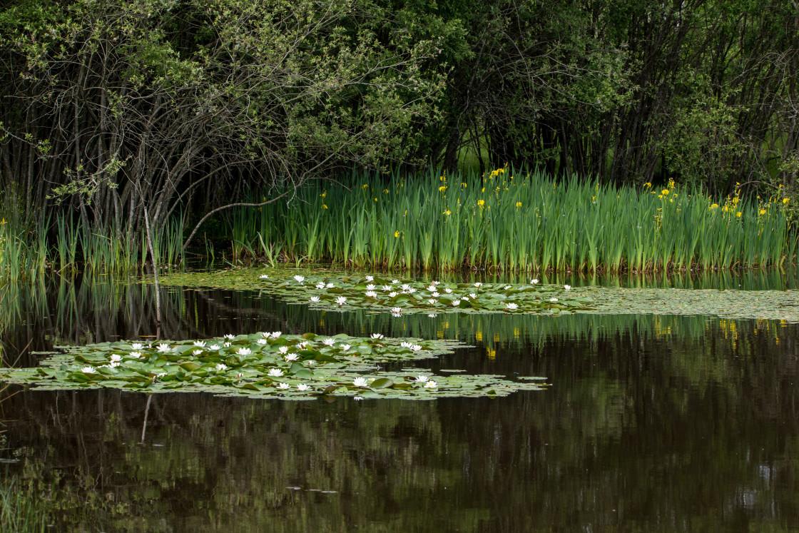 """Waterlily and Yellow Iris"" stock image"