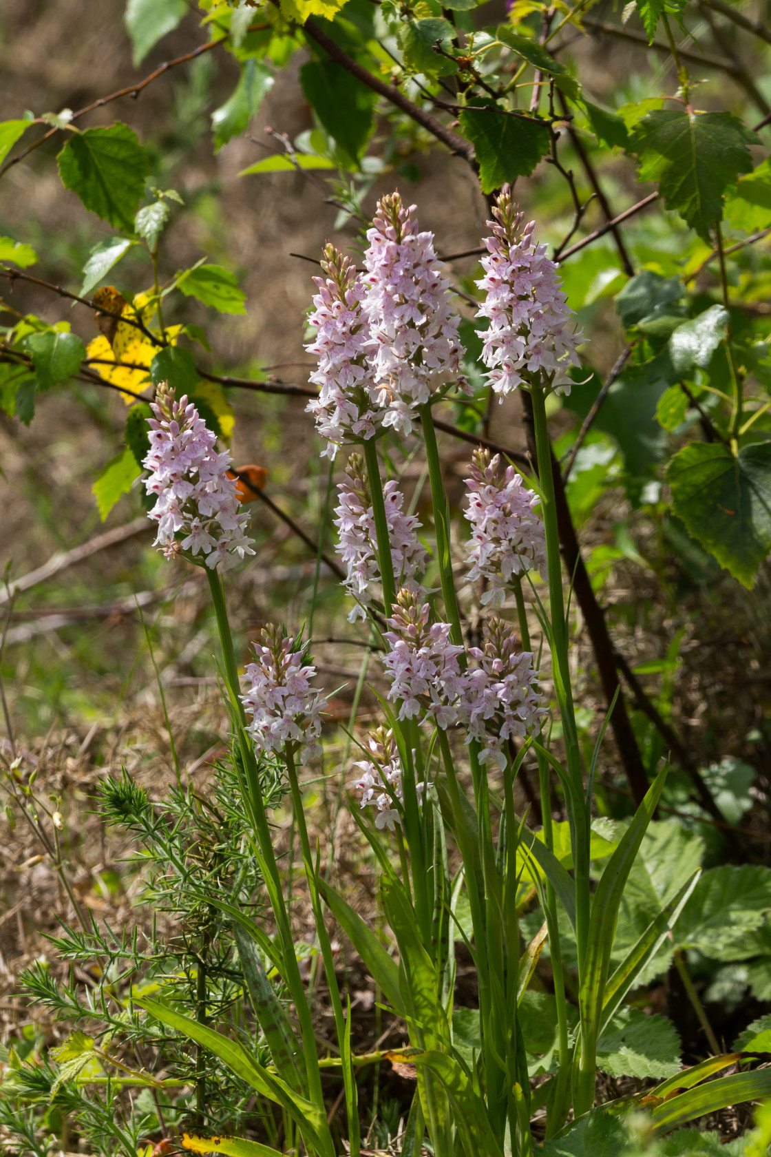 """""""Common Spotted Orchid"""" stock image"""