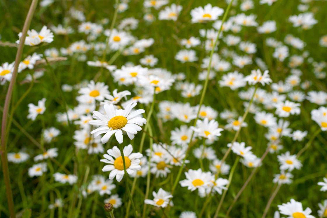 """""""Oxeye Daisy Flowers"""" stock image"""
