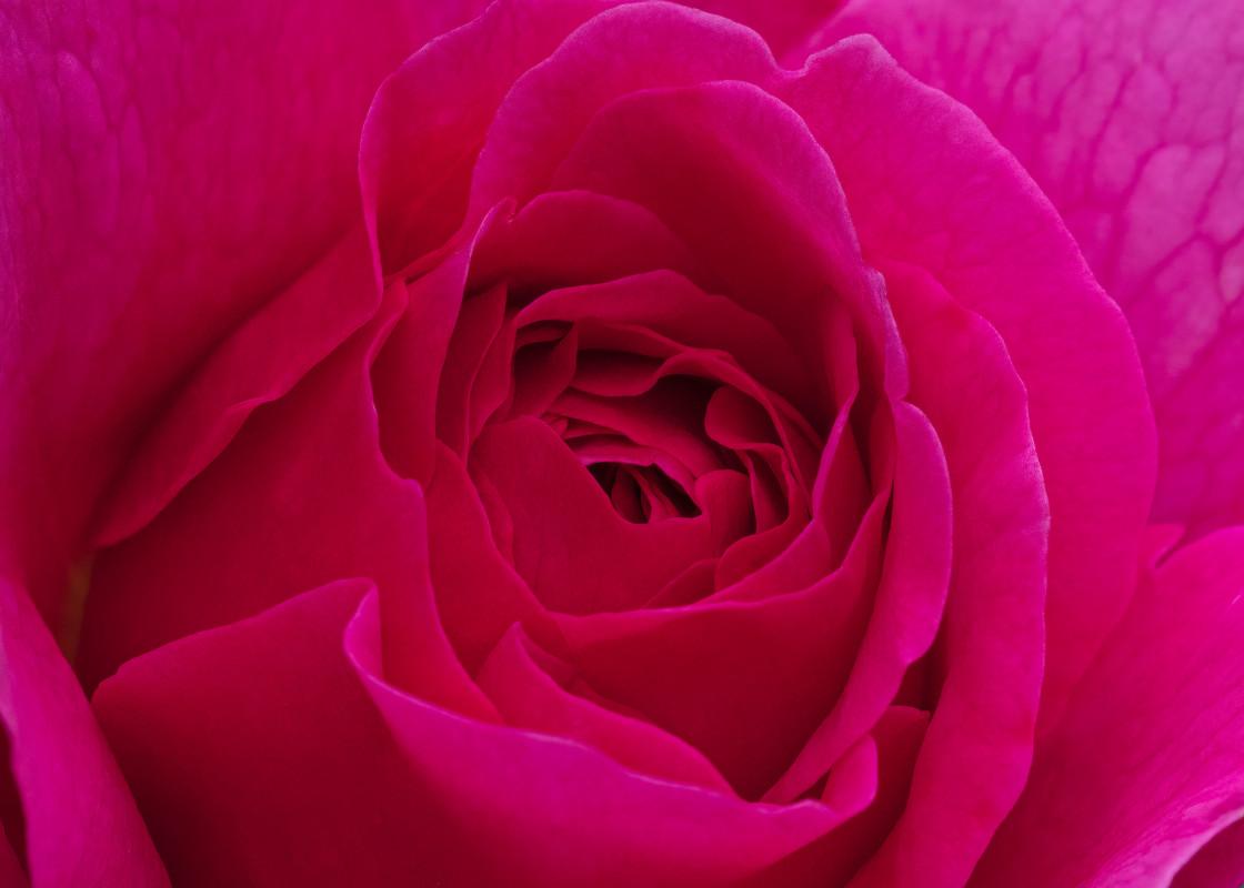 """Rose 'Thomas à Beckett'"" stock image"