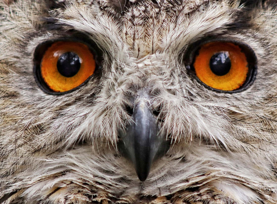 """""""The Eyes of The Eagle Owl"""" stock image"""