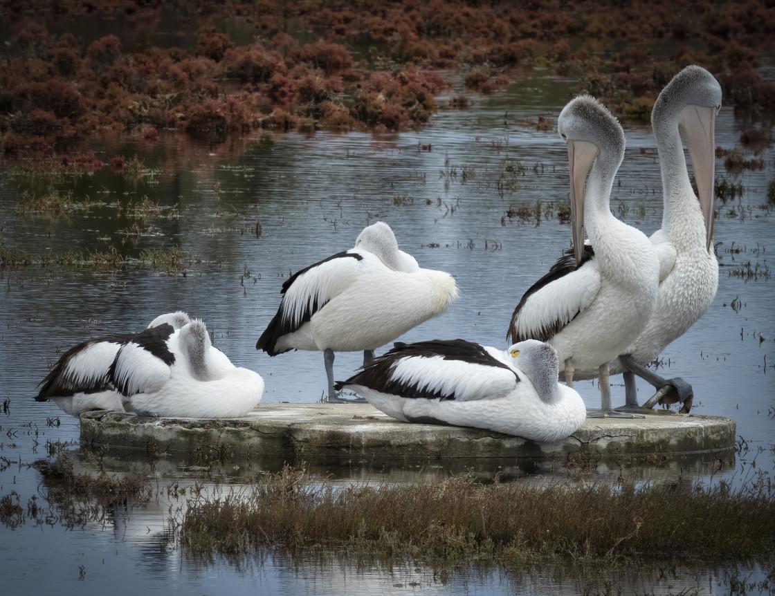 """Roosting Pelicans"" stock image"