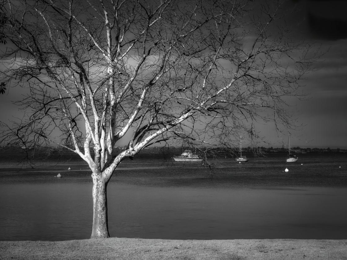 """Tree on the Shore, Matilda Bay"" stock image"