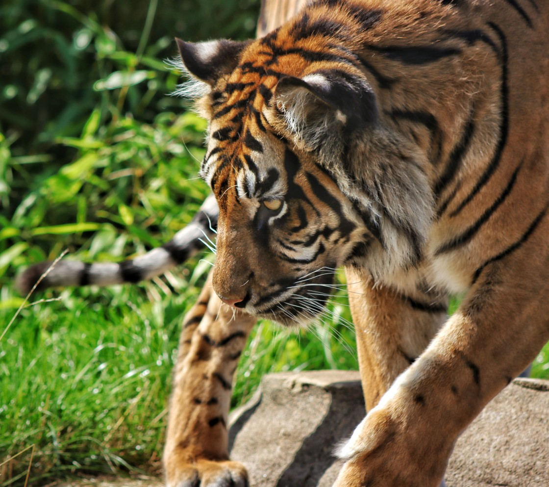 """""""Prowling Tiger"""" stock image"""