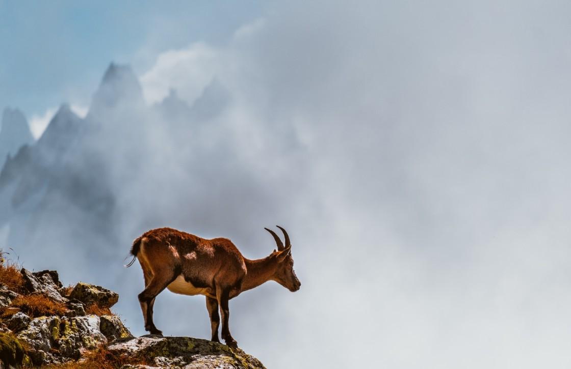 """Ibex in Chamonix, France"" stock image"