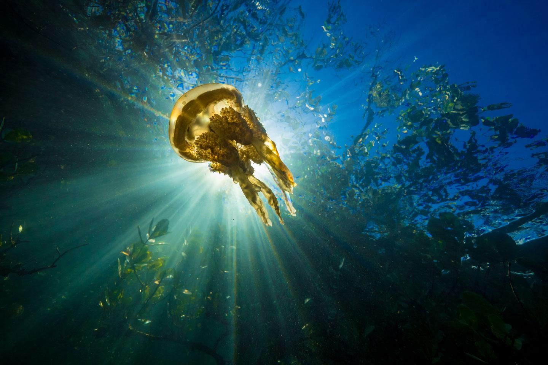 Mangrove jellyfish