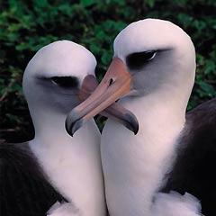 Albatrosse