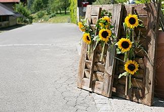 Fensterladen mit Sonnenblumen
