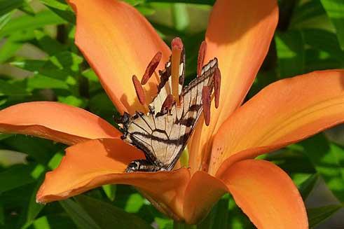 Lilium bulbiferum