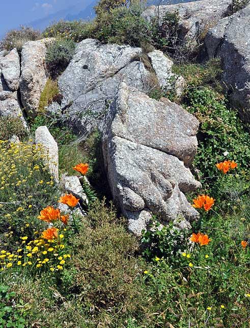 Donnerblume, Brandlilie, Füürblueme oder - im bündnerischen Puschlav - Flur da San Giuan (Sankt Johannes-Blume)