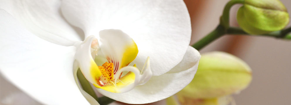 orchideen edel und exklusiv hier erfahren sie alles ber blumen. Black Bedroom Furniture Sets. Home Design Ideas
