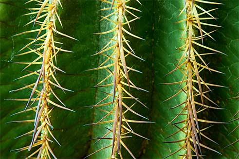 Kaktus Dornen