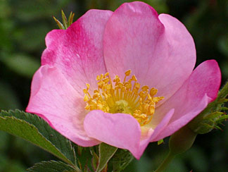 Rosa Wildrose