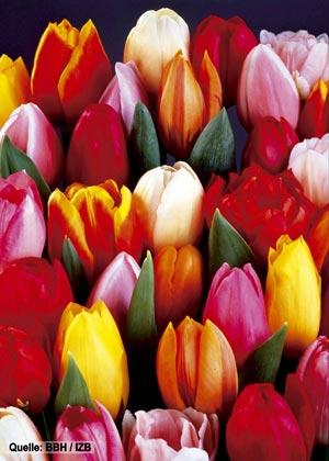 fleurop & tulipes - ici, vous apprenez tout des fleurs