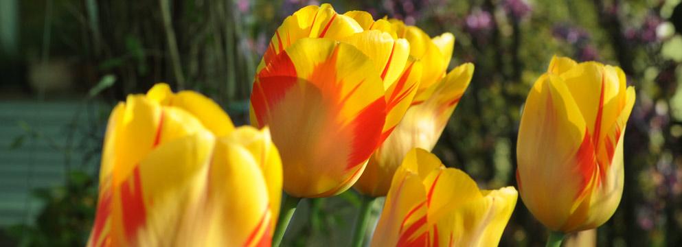Fleurop & Tulpen