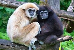 Gibbons Affen