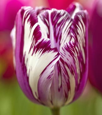 Pinke Tulpe
