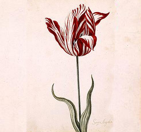 Seper Augustus Tulpe, 17. Jahrhundert
