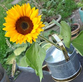 Sonnenblumen und Giesskanne
