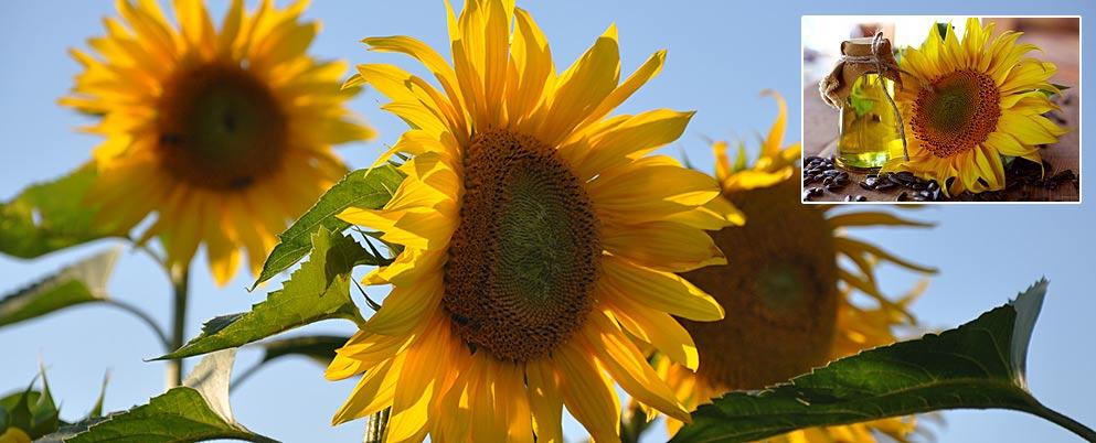 Sonnenblumen als