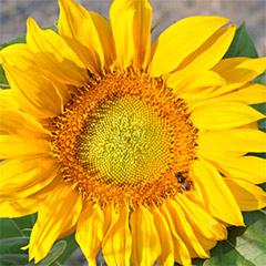 Sonnenblumenkarte