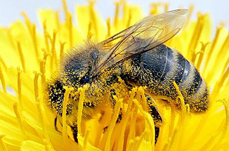 Biene mit Pollen