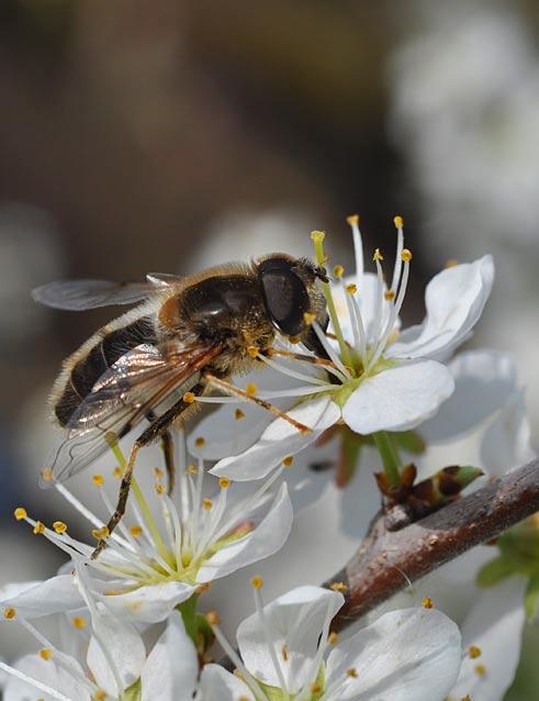 Biene auf Schwarzdorn