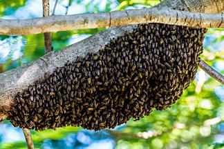 Bienenschwarm an Baum