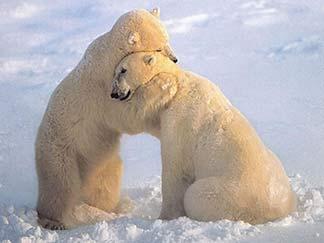 Kuschelnde Eisbären