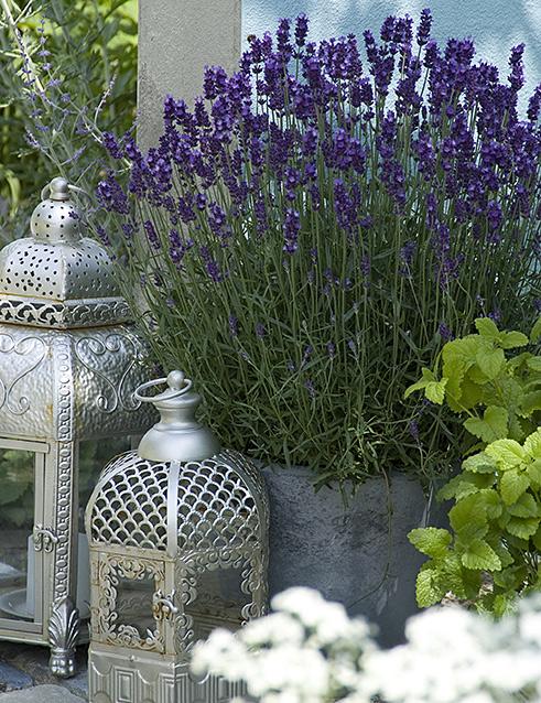 Lavendel orientalisch