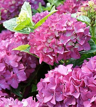 Hortensien Lavendel Mehr Hier Erfahren Sie Alles über Blumen