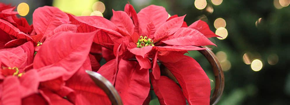 Stella Di Natale Un Classico Irrinunciabile Qui Potrete Conoscere