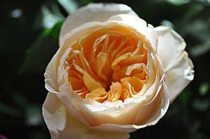 Rosen gerade oder ungerade zahl