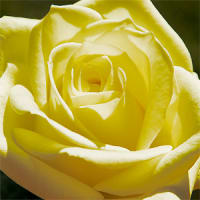 Rose majestueuse