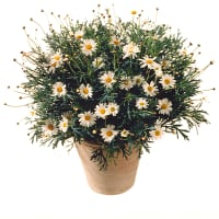 Potted Marguerite