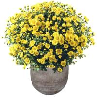 Pianta di crisantemi (giallo) con cachepot