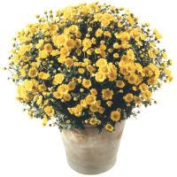 Chrysanthemen Pflanze (leuchtend gelb) im Cachepot